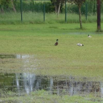 Terrain de sport en herbe inondé et groupe de canards