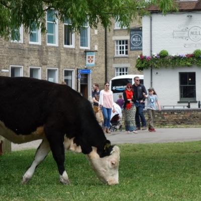 Vaches broutant un espace vert devant un pub anglais
