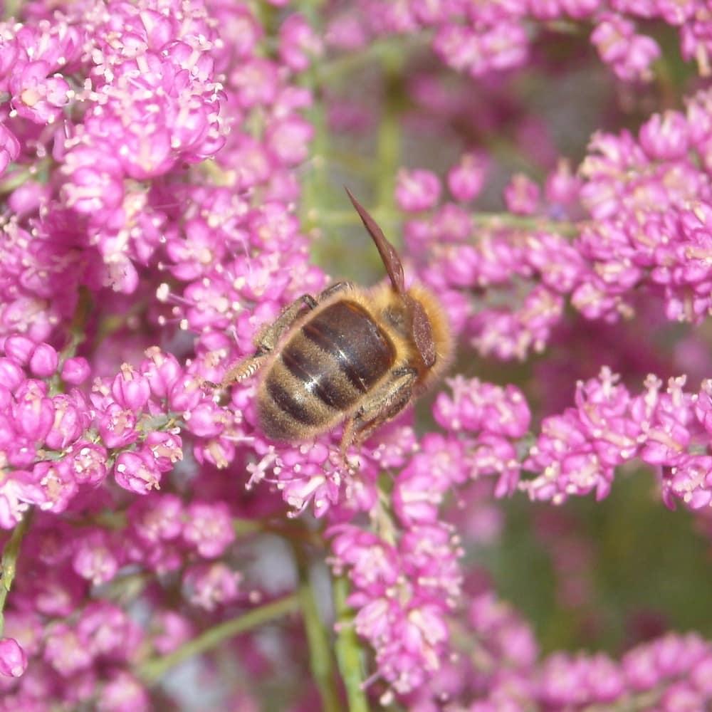 Abeille mellifère (Apis mellifera) butinant des fleurs roses