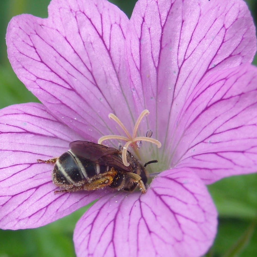 Abeille mellifère (Apis mellifera) butinant une fleur violette