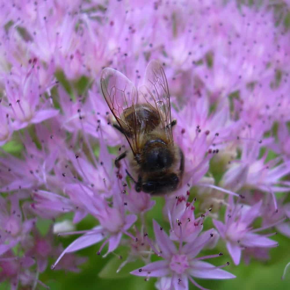 Abeille mellifère (Apis mellifera) butinant des fleurs violettes