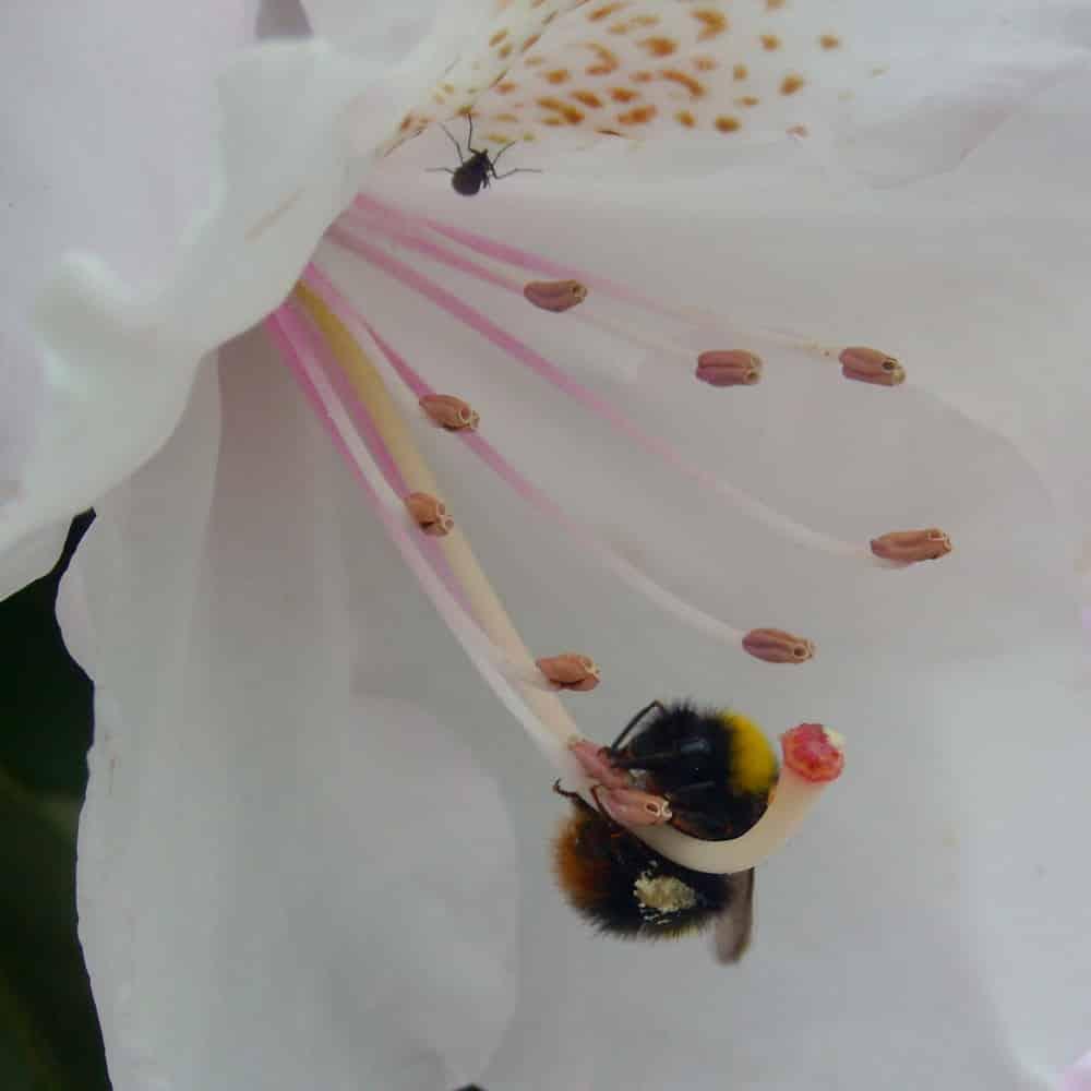 Petite araignée et bourdon (genre Bombus) dans une fleur blanche