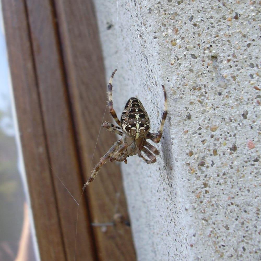 Araignée (Épeire diadème) accrochée à sa toile à côté d'un mur