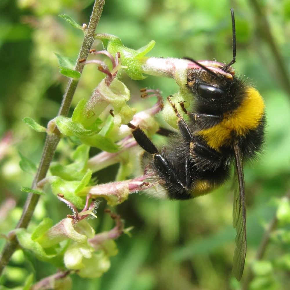 Bourdon (genre Bombus) butinant une fleur