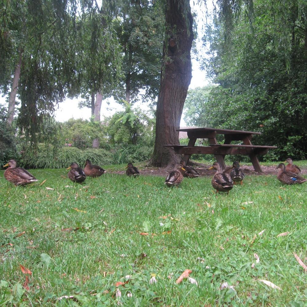 Groupe de canards dans un espace vert