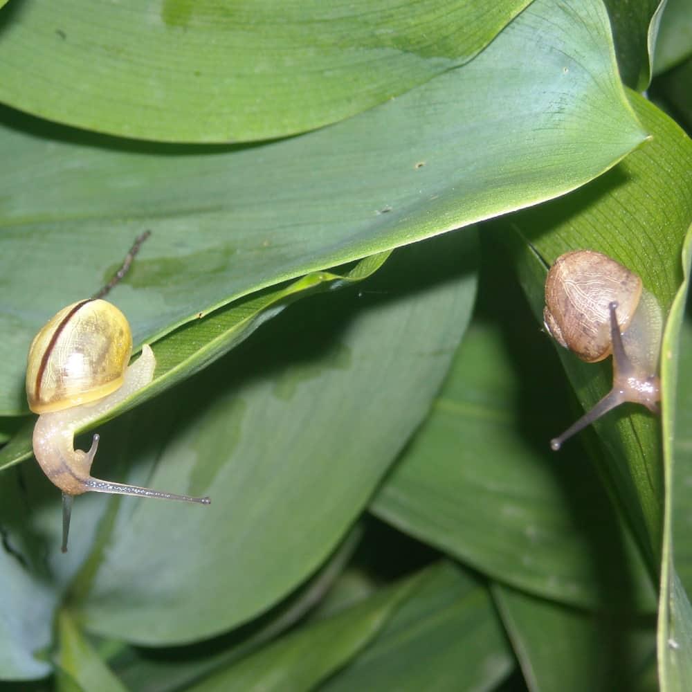Deux escargots sur des feuilles