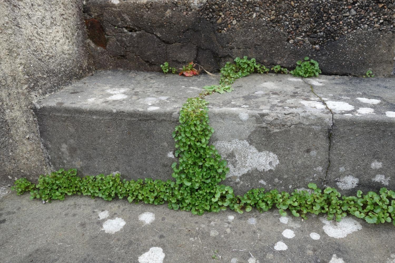 Campanules des murailles
