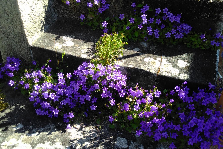 Campanules des murailles en fleur