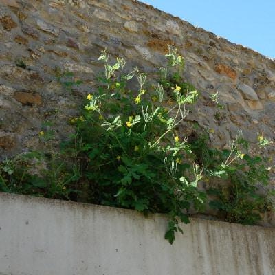 Chélidoine ayant poussé sur un rebord de mur