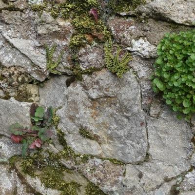 Flore spontanée sur un mur