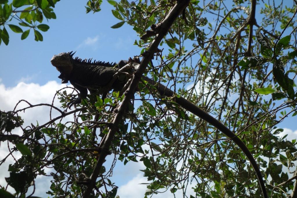 Iguane perché sur une branche