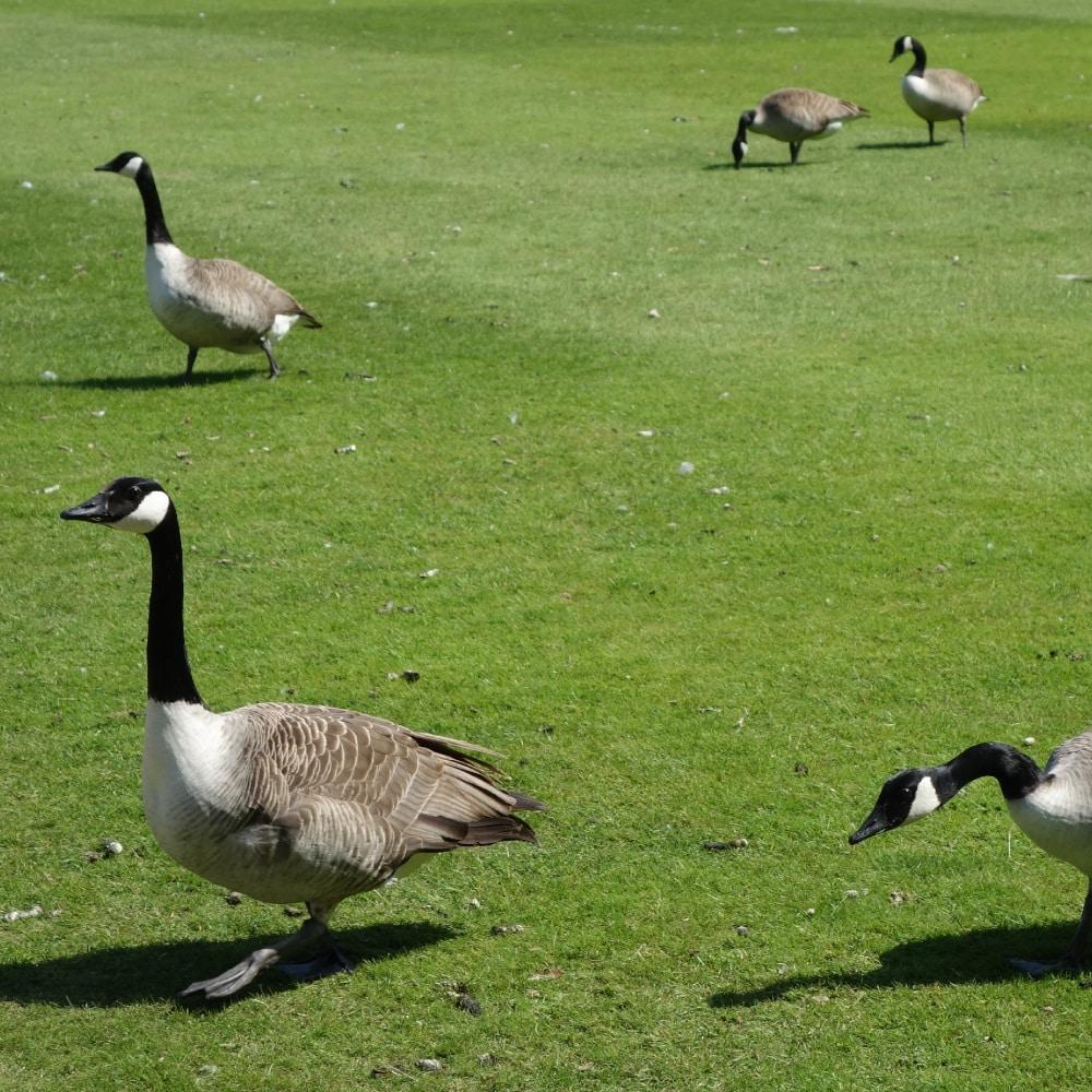 Groupe d'oie sur une pelouse