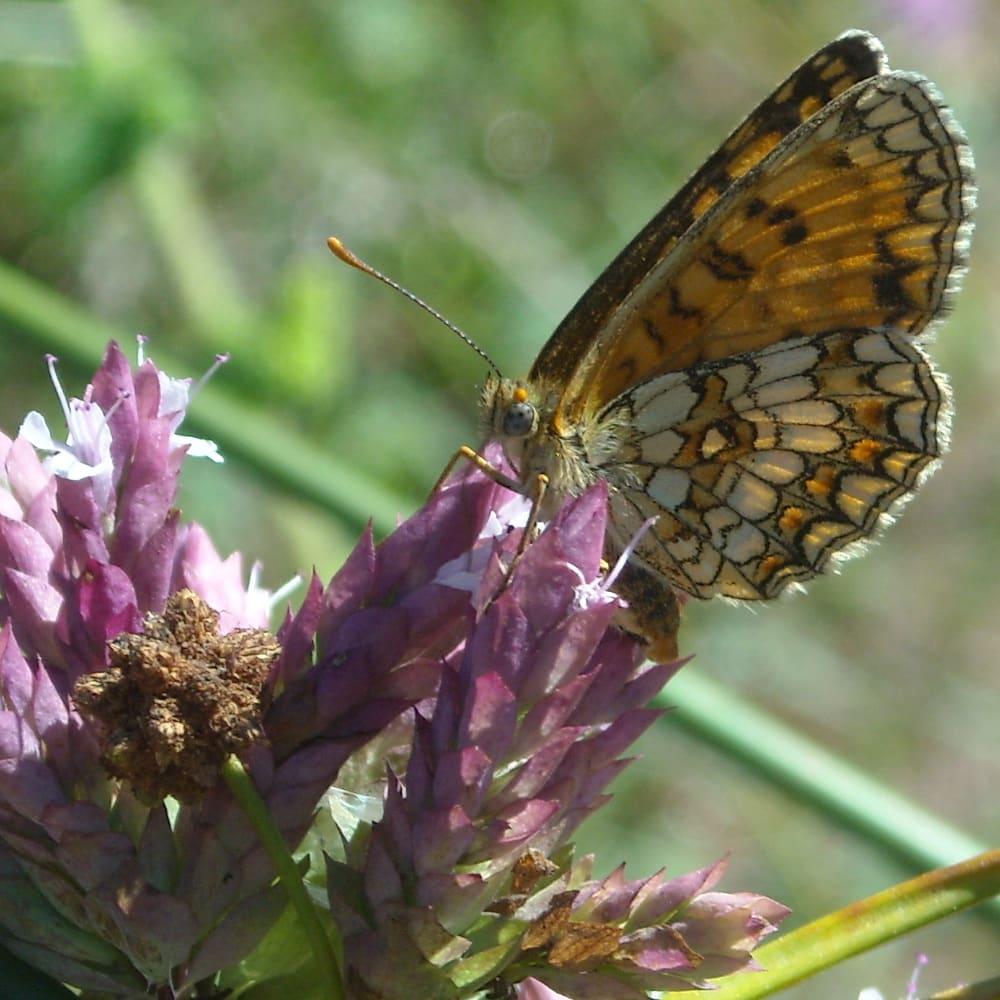 Papillon (Mélitée des centaurées)