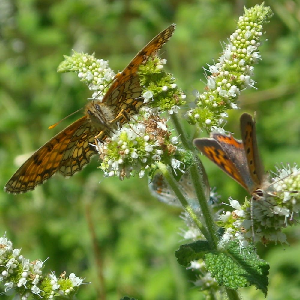 Trois papillons (Mélitée des centaurées à gauche, Cuivré commun à droite, Azurée commun derrière)