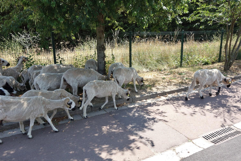 Troupeau de moutons sur un trottoir