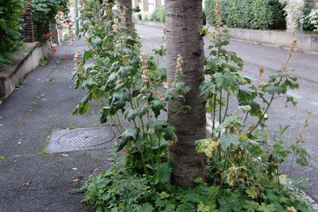 Pieds d'arbres d'alignement où poussent de grandes herbacées en fleurs
