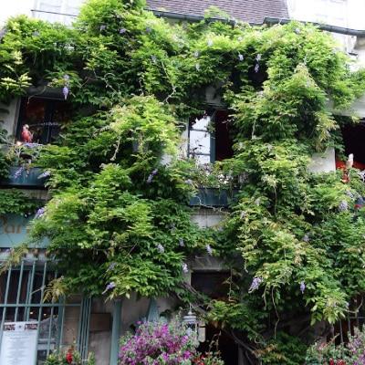 Glycine en fleurs grimpant sur la façade d'un immeuble