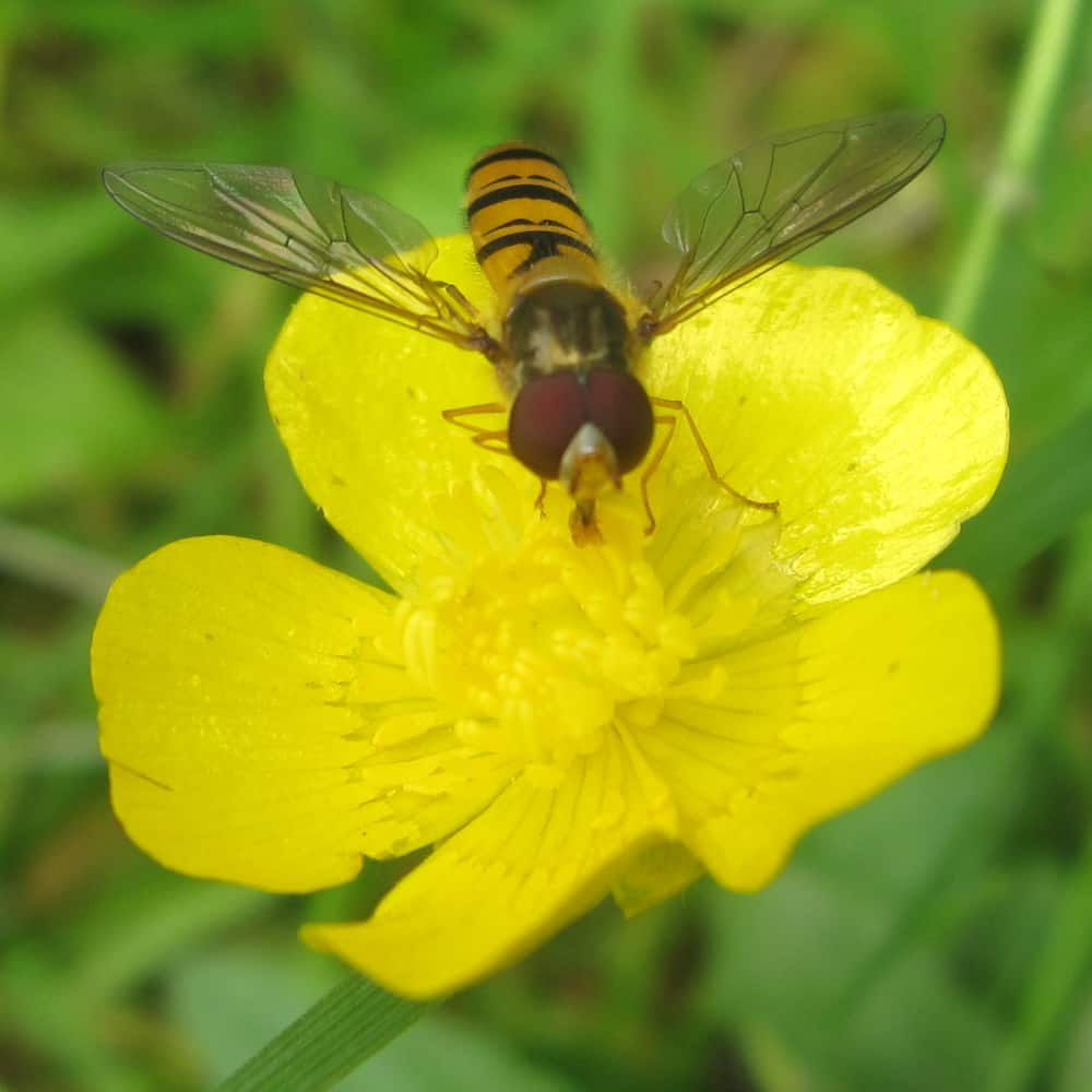 Syrphe (famille Syrphidae) butinant un bouton d'or