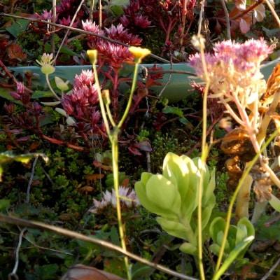 Plantes sauvages sur une toiture
