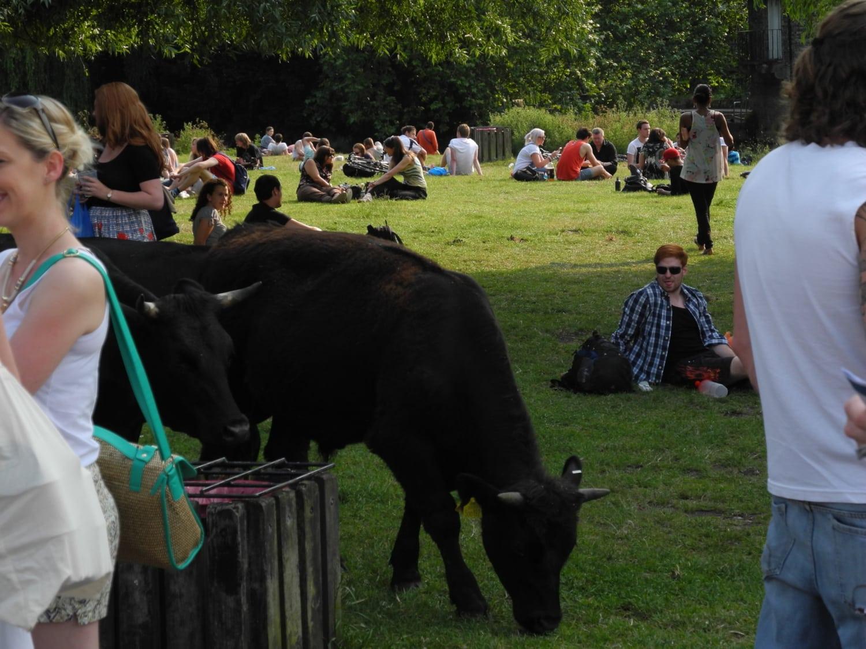 Vaches broutant au milieu d'une foule assise dans l'herbe
